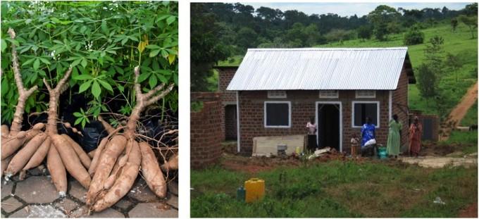 cassava plants and Ugandan home